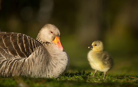 Greylag_Mother_Gosling