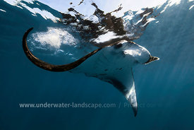 Manta Ray at the surface