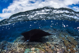 Manta reef - Underwater photography