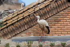 White Stork Ciconia ciconia adding material to nest on cathedral Alfaro Spain