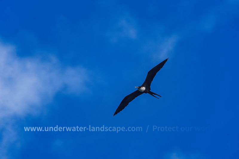 Frigatebird in the sky of Moheli island