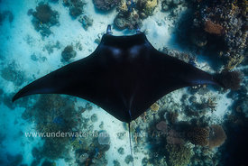 Manta ray in the Mayotte lagoon