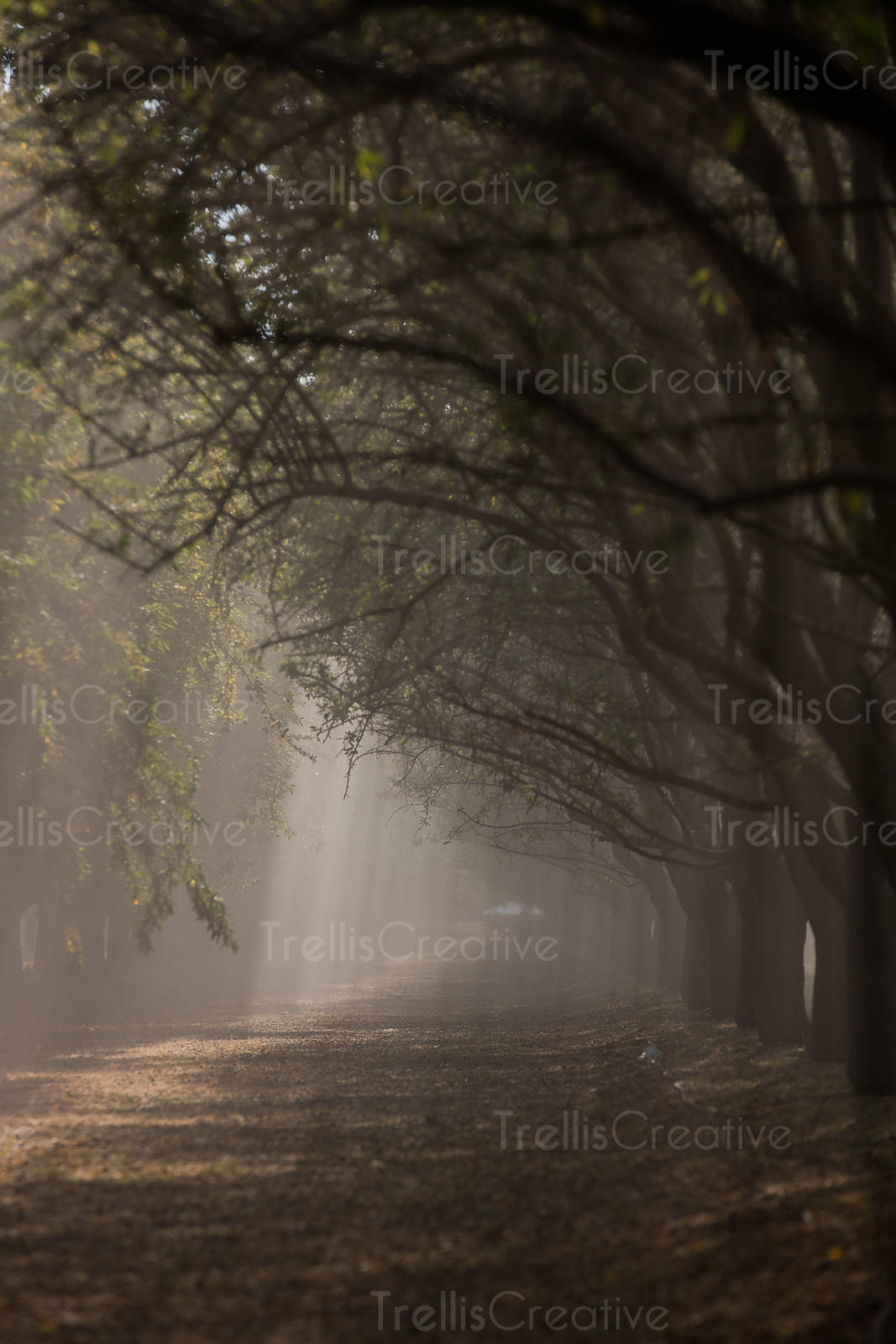 Close-up of Almond trees on a misty morning with the sun filtering through