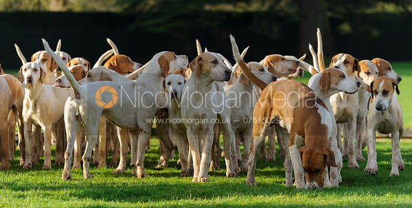 The Fitzwilliam Hunt hounds at the meet