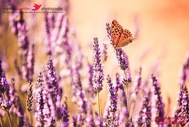 Butterfly in lavender field, Provence, France