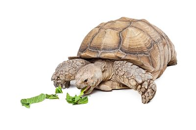 Large Sulcata Tortoise Eating Lettuce