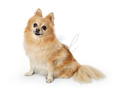 Pomeranian Dog Sitting on White Looking at Camera