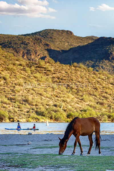 Wild Horse Grazing on Shore Near People