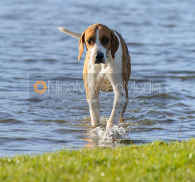 A Belvoir hound taking a dip at the meet - Belvoir Hunt at Grange Farm, Scalford 8/12