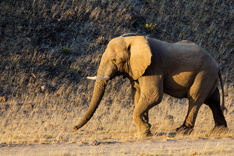 Desett Adapted Elephant Walking along Dirt Track