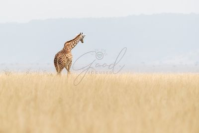 Masai Giraffe Walking Away in Kenya Africa