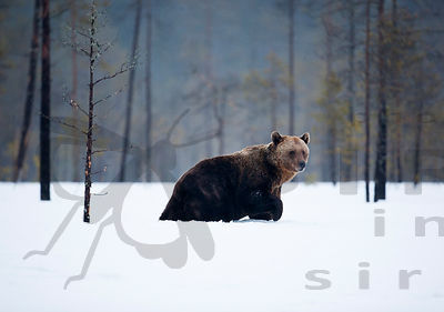 Brown Bear - Ursus arctos photos