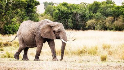 African Elephant Walking to Side in Kenya