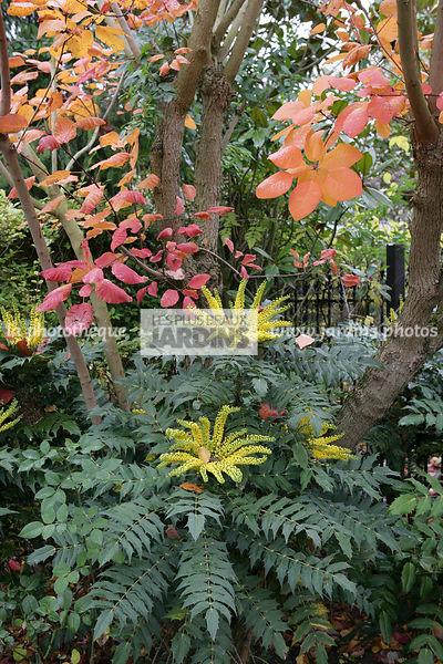 la phototh que les plus beaux jardins mahonia x media 39 charity 39 berberidaceae arbuste. Black Bedroom Furniture Sets. Home Design Ideas