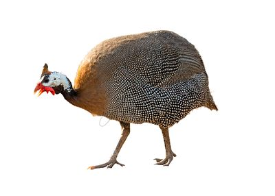 Guineafowl Bird Extracted Photo