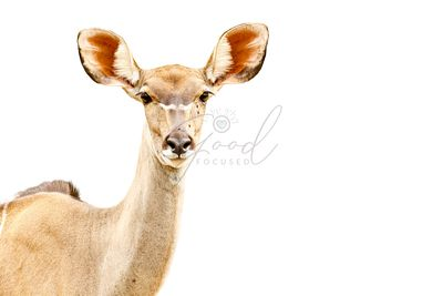 African Springbok Isolated