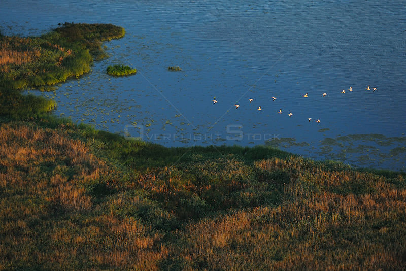 Eastern white pelicans (Pelecanus onocrotalus) aerial view of flock flying above the Danube delta rewilding area, Romania, June