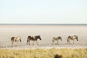 Zebras on salt pan