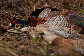 Pheasants on a game shoot