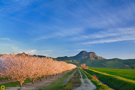 Almond Blooms and the Sutter Buttes