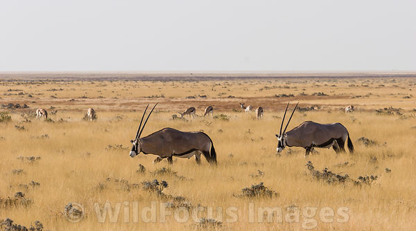 Oryx or Gemsbok on the grassy plains, Oryx gazella, Etosha National Park, Namibia; Landscape