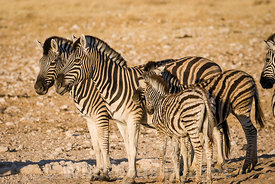 Mother and foal, Burchells zebra, Equus burchelli antiquorum, Etosha National Park, Namibia; Landscape