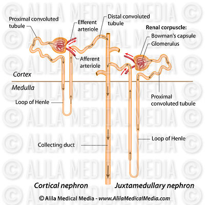 Nephron structure labeled.