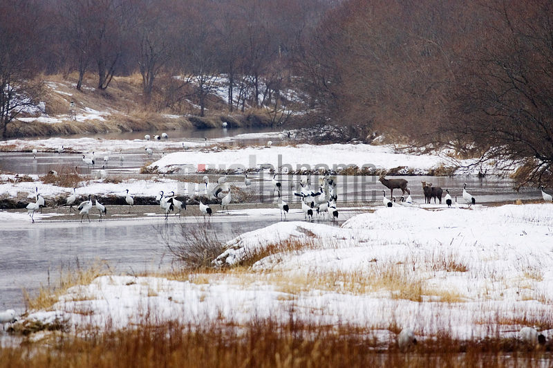 Red Crowned Cranes and Sika Deer in the River at Otowa, Hokkaido, Japan