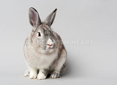 Grey bunny with a white nose