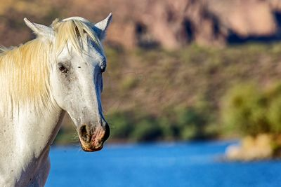 Closeup White Wild Horse With Lake Background