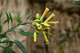 Nicotiana glauca, commonly known as tree tobacco