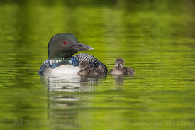 common loons, Loons