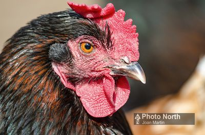 CHICKEN 06A - Black copper marans hen