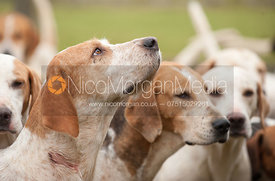 Cottesmore hounds at the meet in Langham