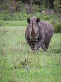 White Rhino (Ceratotherium simum), Kruger National Park,  South Africa; Landscape