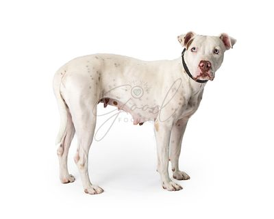 White Pit Bull Dog Standing to Side