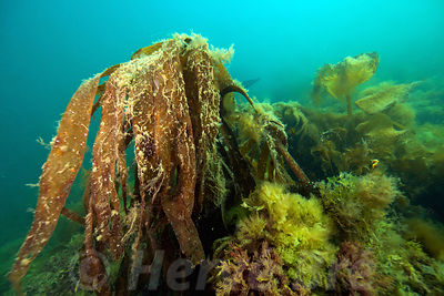 Undersea landscape of Bréhat island - North Brittany - Sea bottom