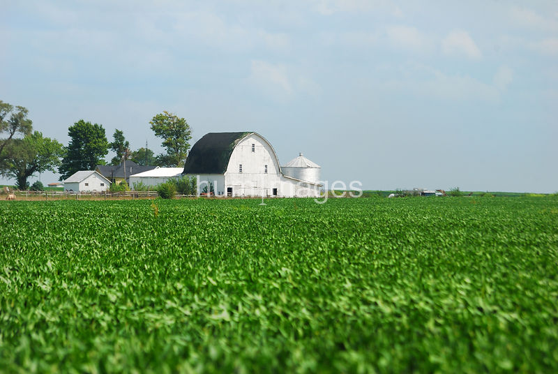 Field of corn and white barn near Hindsboro, IL