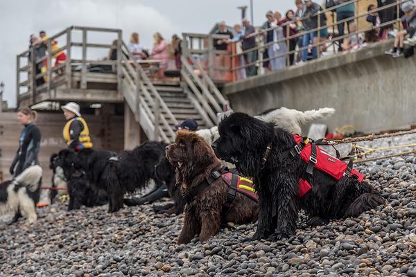 Newfoundland Working Dogs Display, Sheringham Carnival 2018