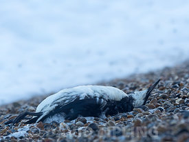 Common Guillemot (Murre) Uria aalge washed up dead on Norfolk beach after storm October