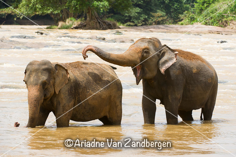 Asian elephants in the river, Pinnawala Elephant Orphanage, Sri Lanka