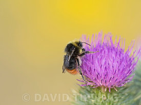 Red-tailed bumblebee.Bombus lapidarius male on thistle North Norfolk summer