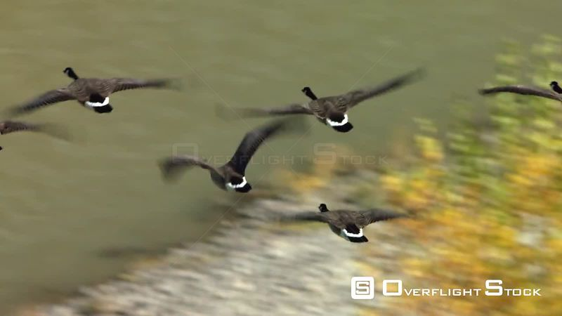 A flock of Canada geese fly above the Bighorn River as it's filled with golden Cottonwood trees in early autumn, in northern Wyoming