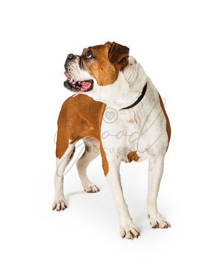 Boxer Bulldog Crossbreed Dog Standing Looking to Side