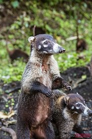 Two coati in the wild, one standing up, Costa Rica