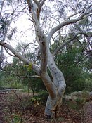 Eucalyptus sclerophylla, Scribbly Gum