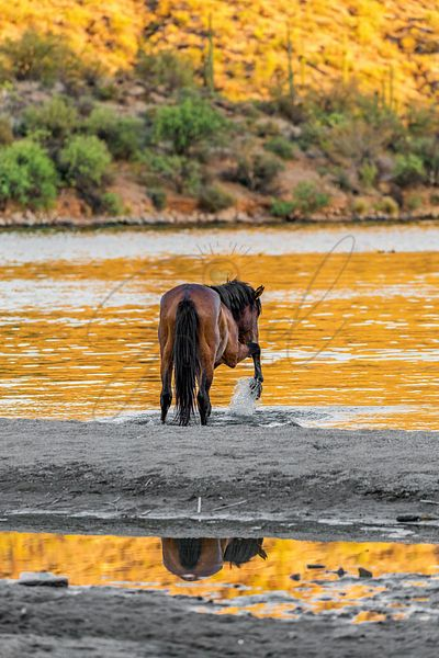 Arizona Wild Horse Playing in Water