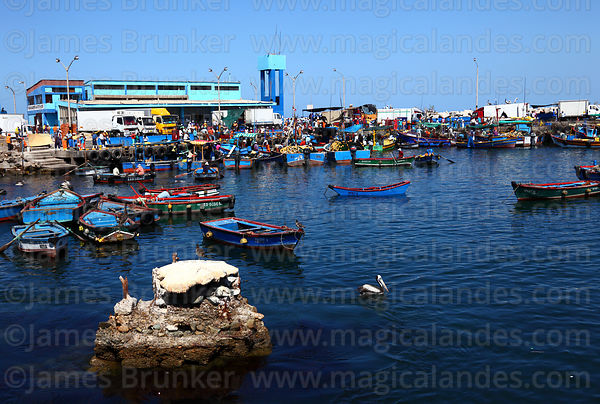 Peruvian pelicans ( Pelecanus thagus ) and fishing port, Ilo, Peru