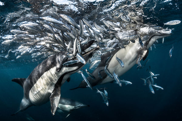 Dolphins hunting sardine, South Africa 2016