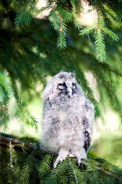 Long-eared Owl - Asio otus photos